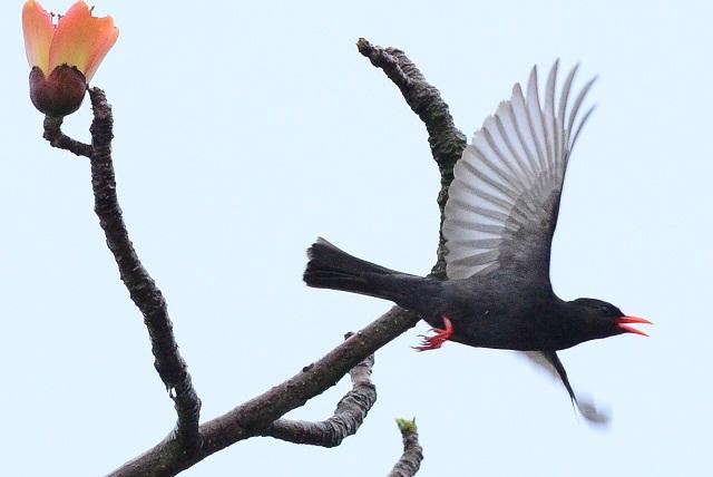 木棉花と野鳥たち(6)