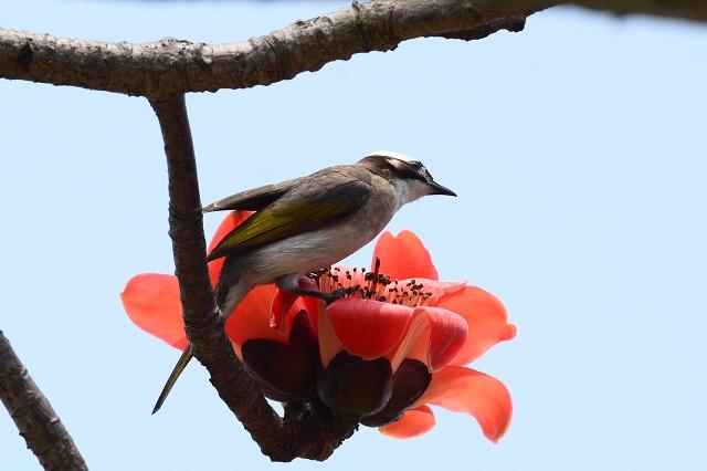 木棉花と野鳥たち(4)