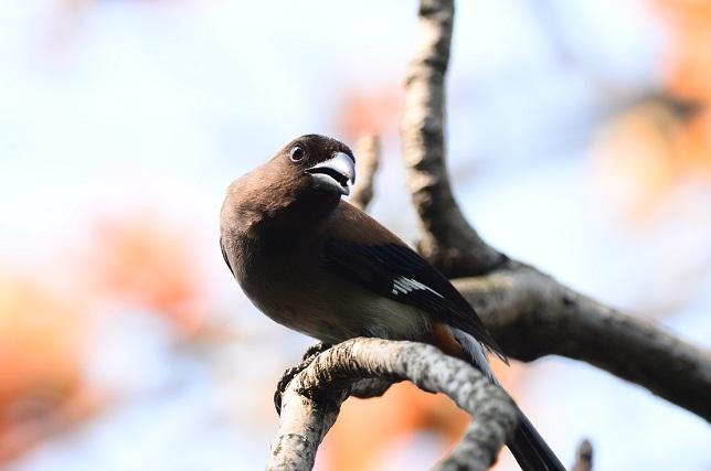 木棉花と野鳥たち(1)