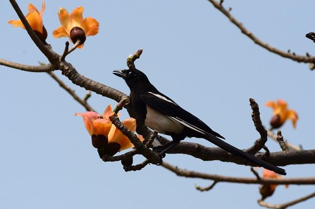 木棉花と野鳥たち(3)