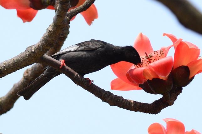 木棉花と野鳥たち(2)