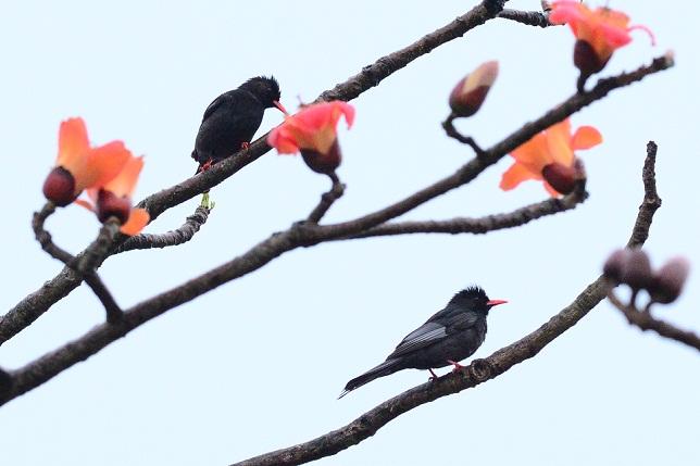 木棉花と野鳥たち(5)