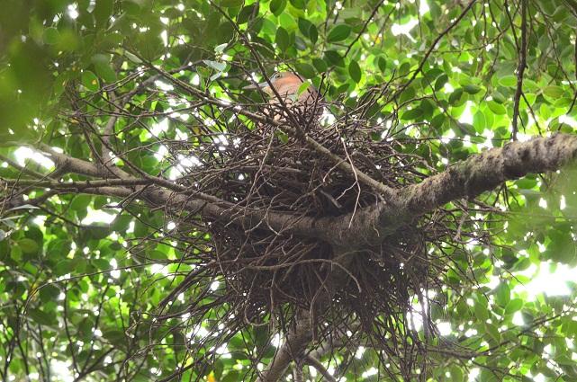 巨大な鳥の巣発見
