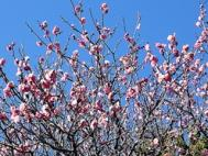 日本平の梅