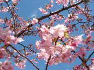 掛川城の河津桜