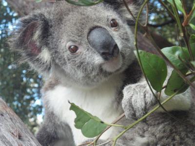 New South Wales koala
