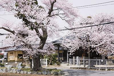 shizuka_sakura.jpg