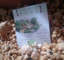 090525_himawari2.jpg