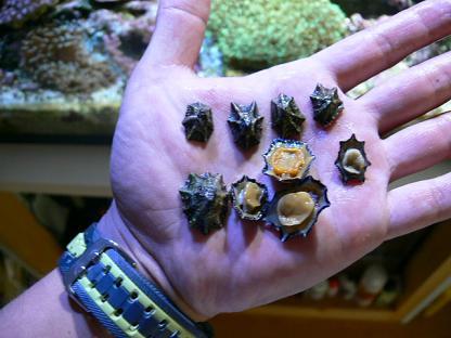 取って来たウノアシ貝