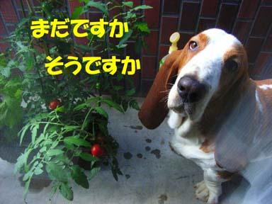 200808_tomato2.jpg