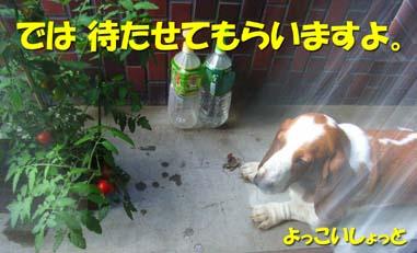 200808_tomato3.jpg
