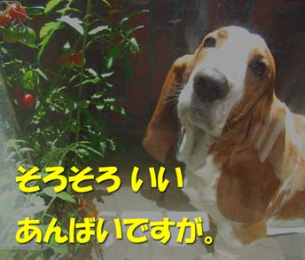 200808_tomato5.jpg