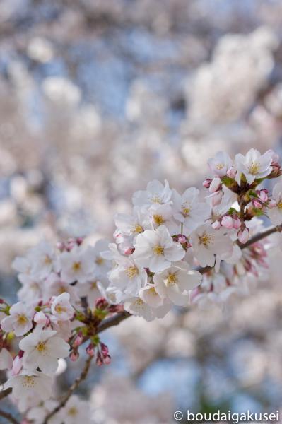 桜、入学式と、少々、鉄分 01
