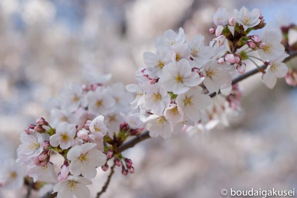 桜、入学式と、少々、鉄分 02