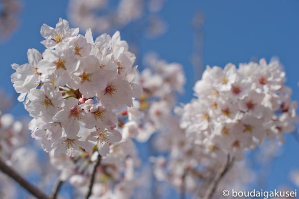 桜、入学式と、少々、鉄分 03