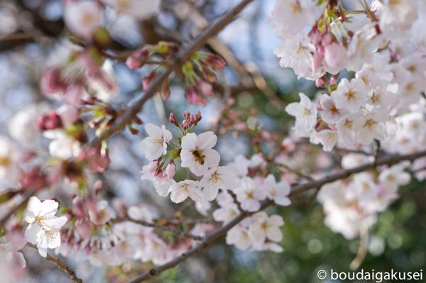 桜、入学式と、少々、鉄分 04