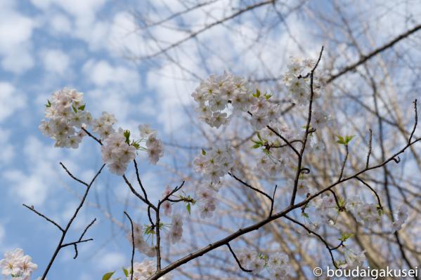 桜、入学式と、少々、鉄分 05