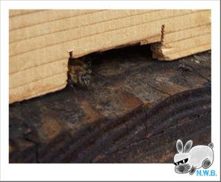 蜜蜂現る!
