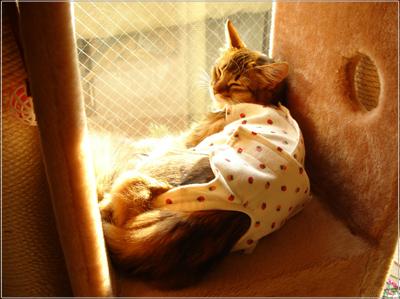 ソマリの猫モンさんの術後服姿