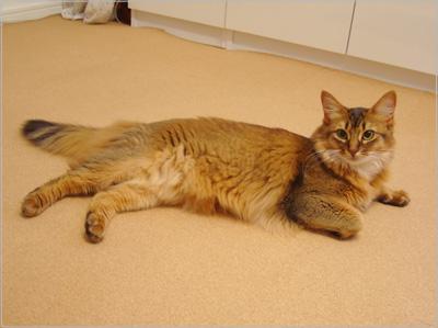 ソマリ 猫.jpg