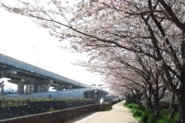 2011sakura3.jpg