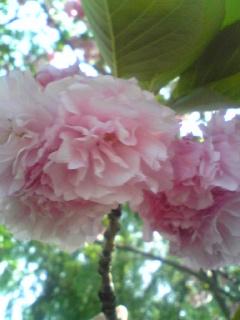ぼたん桜UP