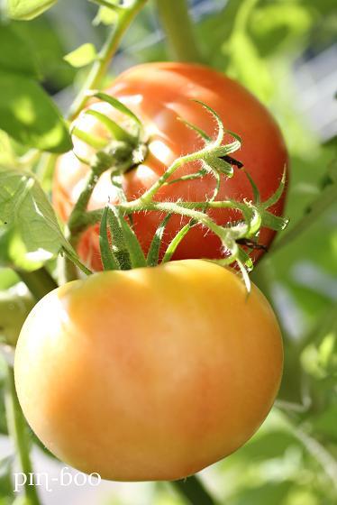 7.19トマト