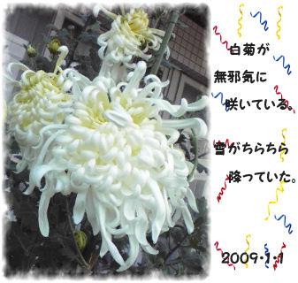 元旦に白菊。