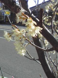 彼岸桜とアスファルト
