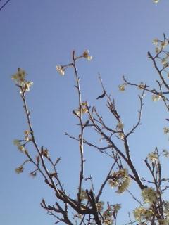 彼岸桜と青い空