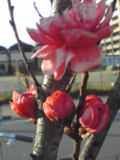 モモ(花)