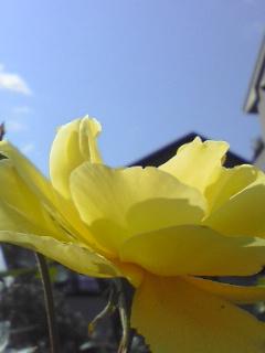 五月の空に薔薇