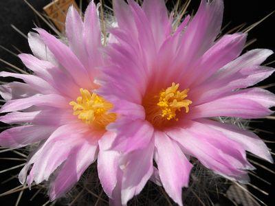 太白丸の花