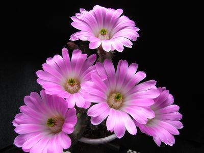 美花角の花