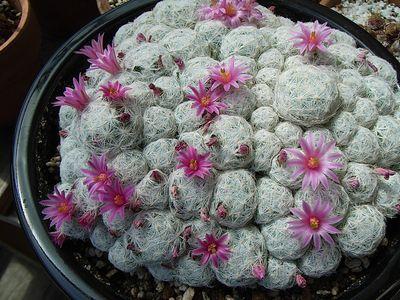 姫春星の花