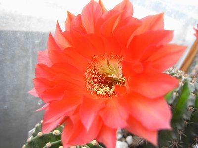 ロビオプシス赤花