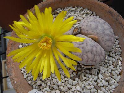 リトープス曲玉の花