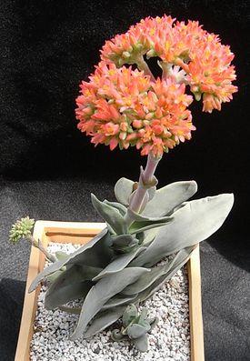 神刀の開花