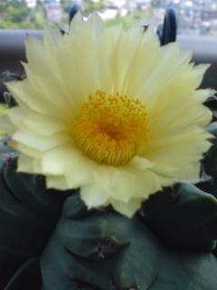 ヘキルリランポー玉の花