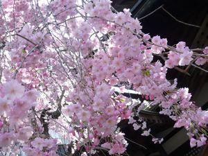 善光寺 しだれ桜-2