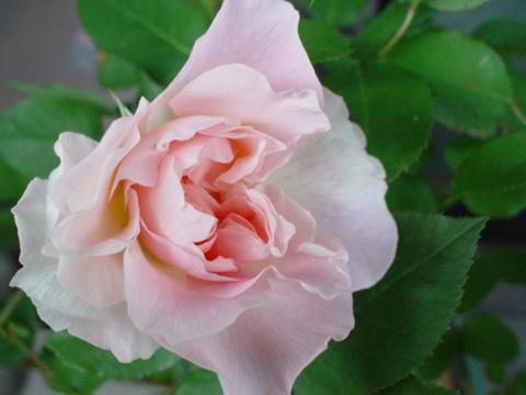 メアリー開花
