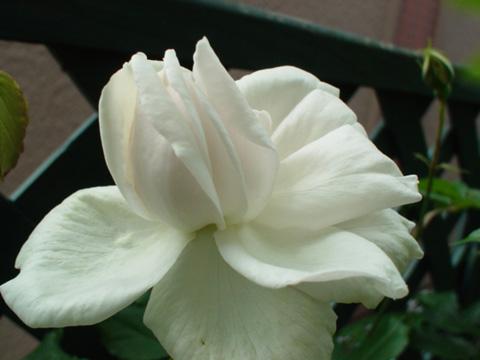 カリエール開花