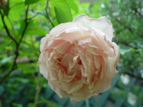 デュセスドブラバン開花