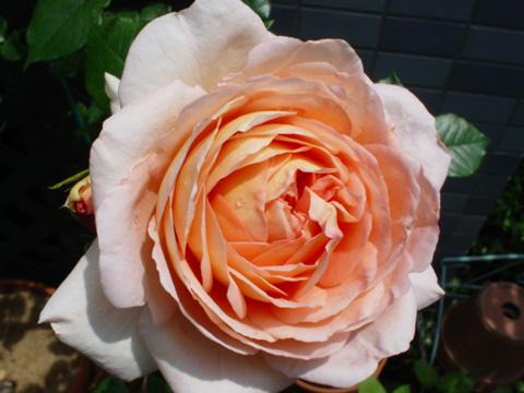 アブラハムダービー開花