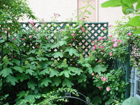 咲き始めたアンジェラと柏葉アジサイの蕾