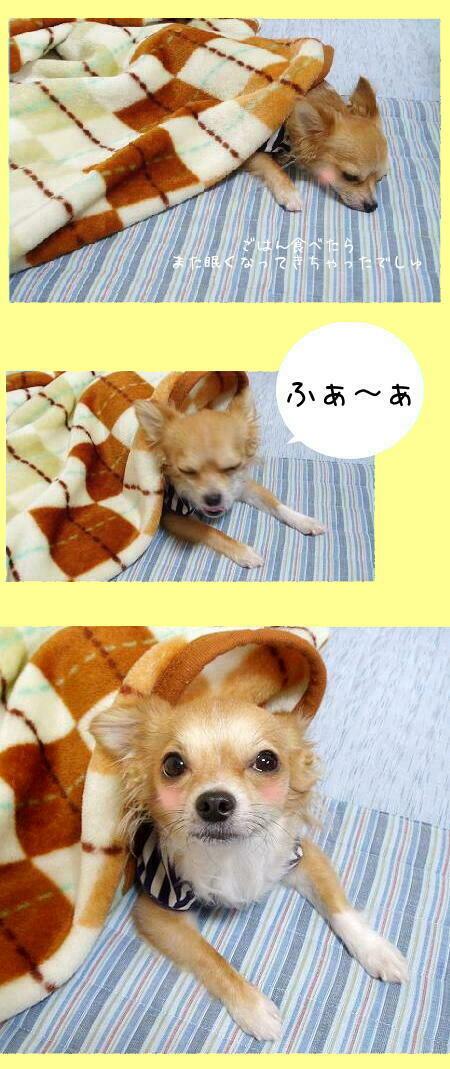 ぽんぽんふくれると眠くなりまちぇんか・・U(ノω-。)U?