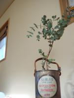 cinerea tree