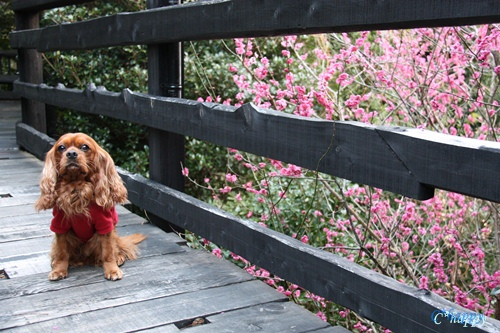 梅が咲いてるよ