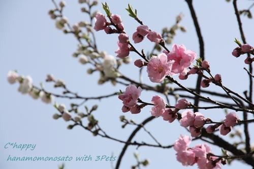 ピンクの桃