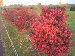 木の葉がすっかり赤くなりました(*^_^*)